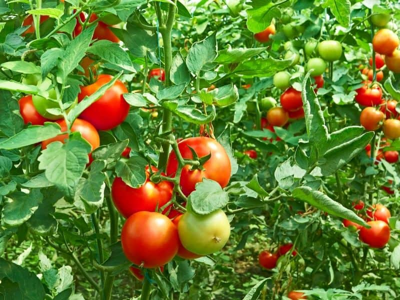 Hydroponic tomato plants