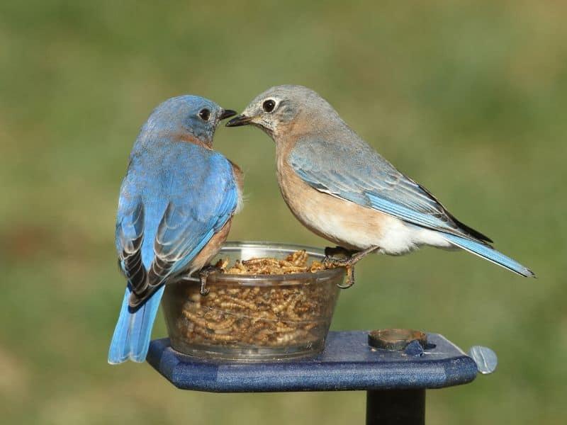 Mealworm bluebird feeder