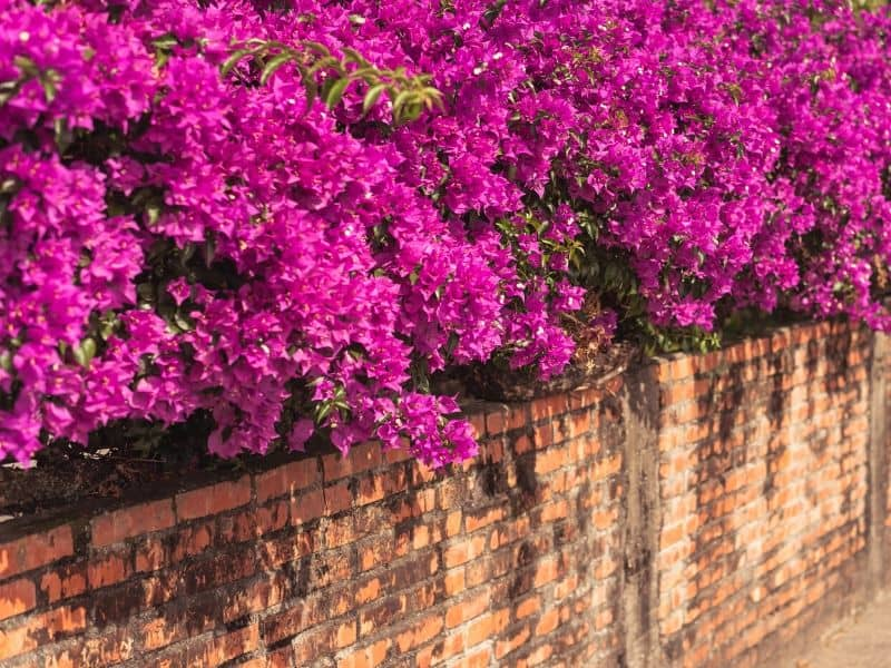 Pink bougainvillea on top of a brick wall