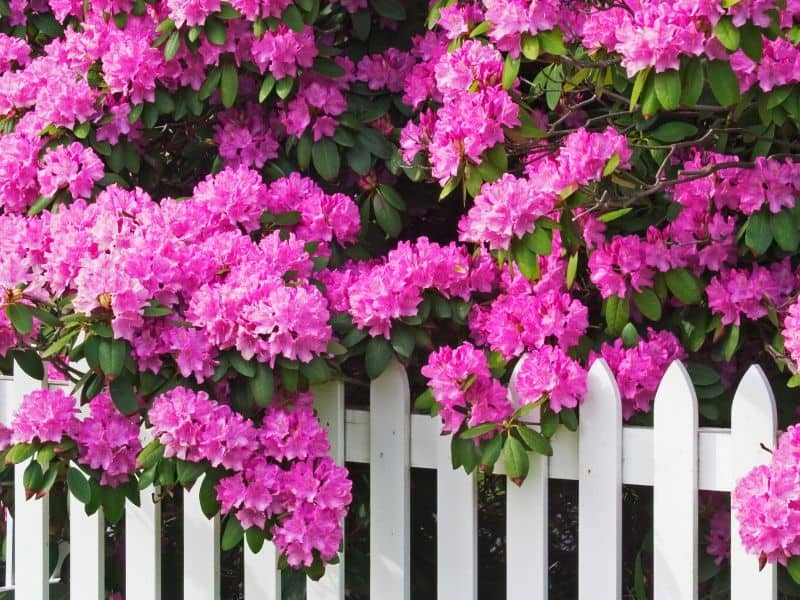 Pink rhododendron flowers behind a white fence