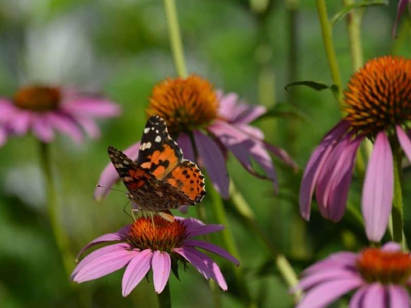 A butterfly on purple coneflowers