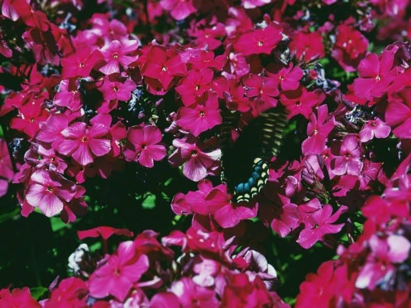 Red phlox flowers
