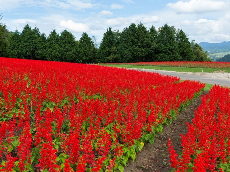 Bright red scarlet sage field