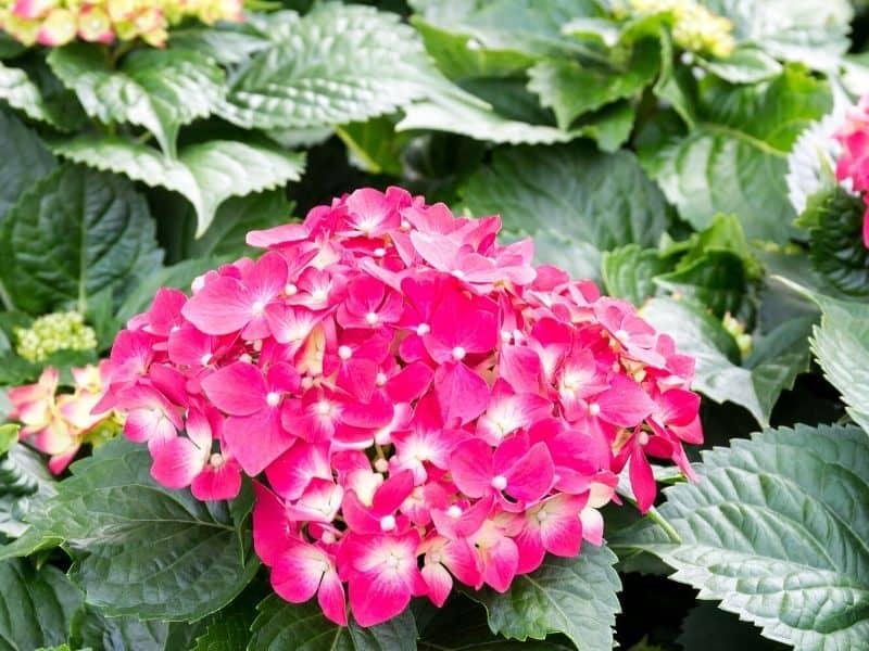 Summer crush hydrangeas