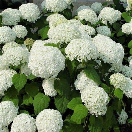 Annabelle hydrangea flowers
