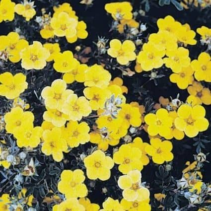 Yellow flowers of Goldstar Potentilla
