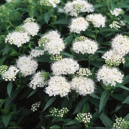 Japanese white spirea