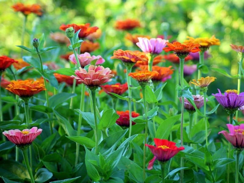 Colorful flower patch