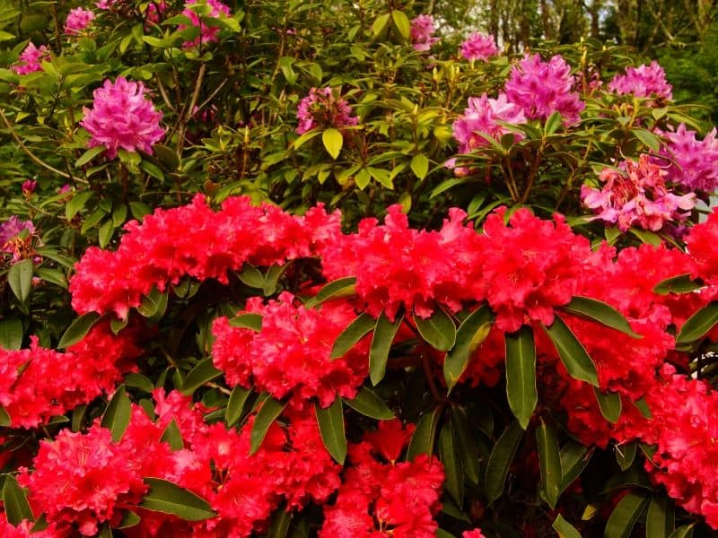 Red flowering shrubs