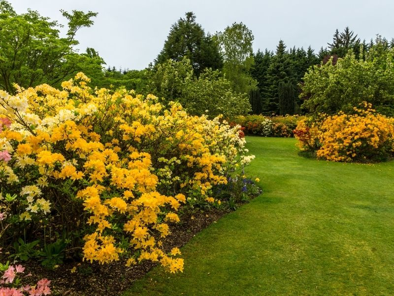 Yellow azalea landscape edging