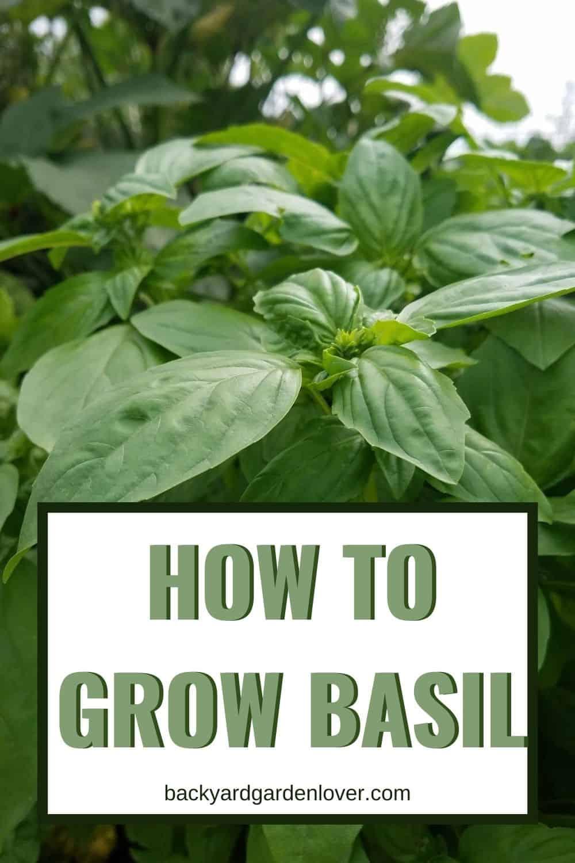 How to grow basil - Pinterest image
