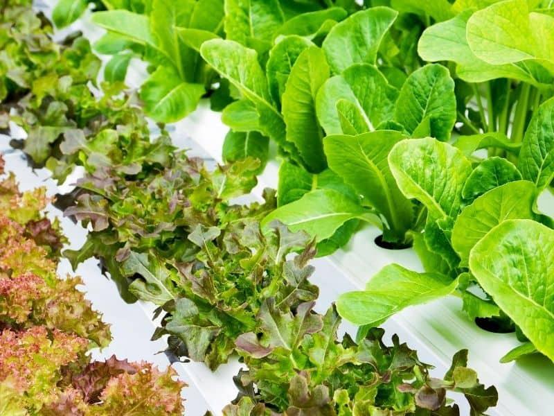 Hydroponic lettuce setup