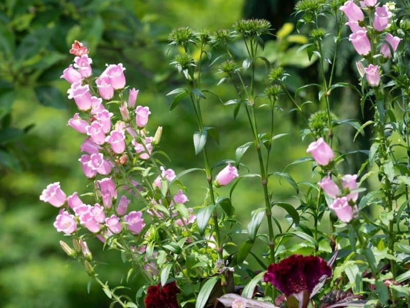 Pink bell flowers