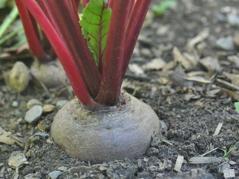 Beet growing in the garden