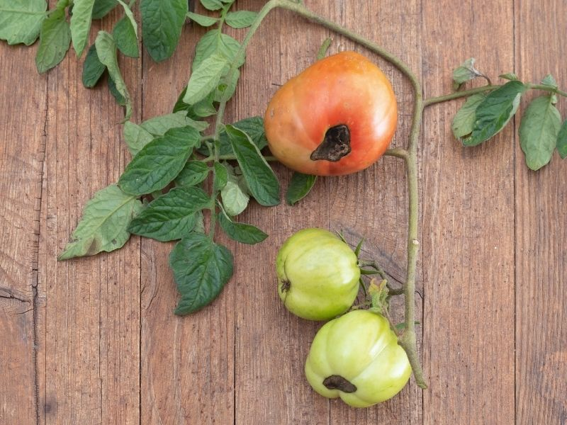 Red and green tomatoes affected by blossom end rot