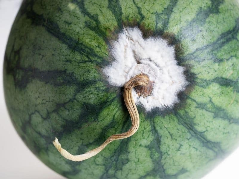 Watermelon affected by blossom-end rot