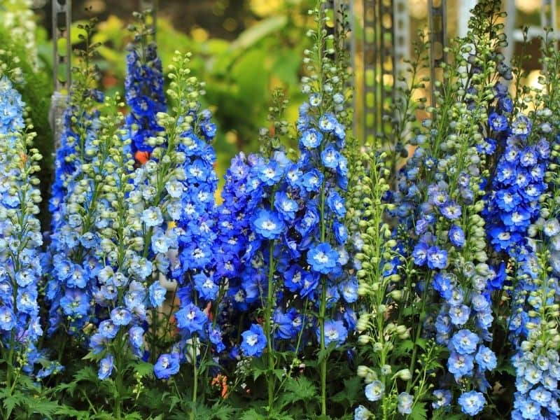 Pretty blue delphinium flowers