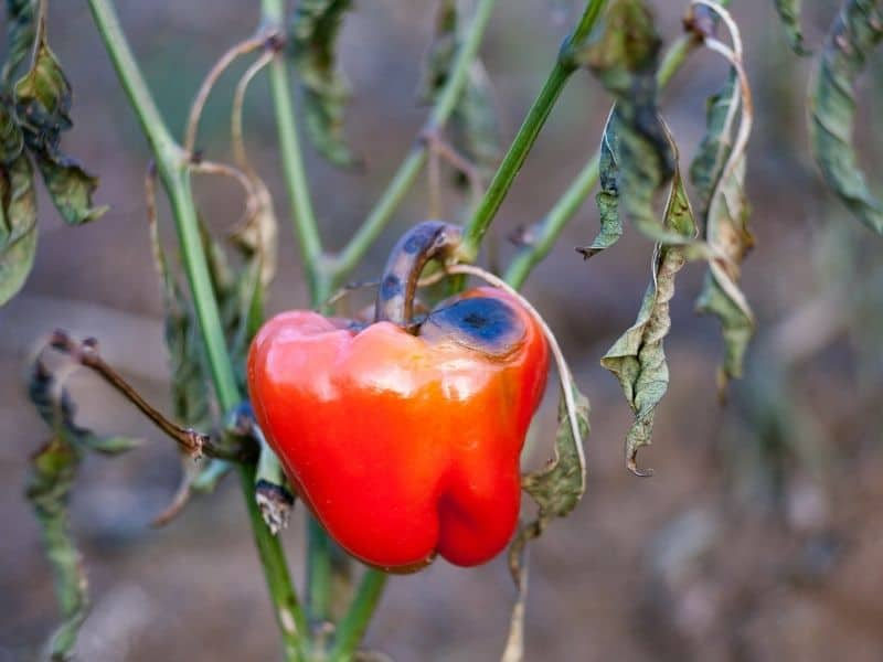 Pepper with blossom-end rot