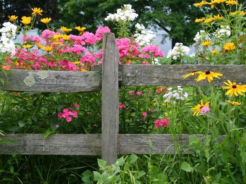Pink, white and yellow flowers behind an old fence
