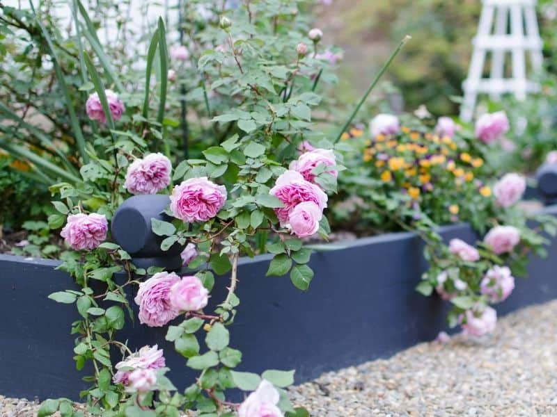 Raised bed flower garden with pink roses