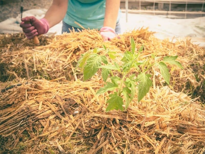 Tomato growing in a straw bale raised bed