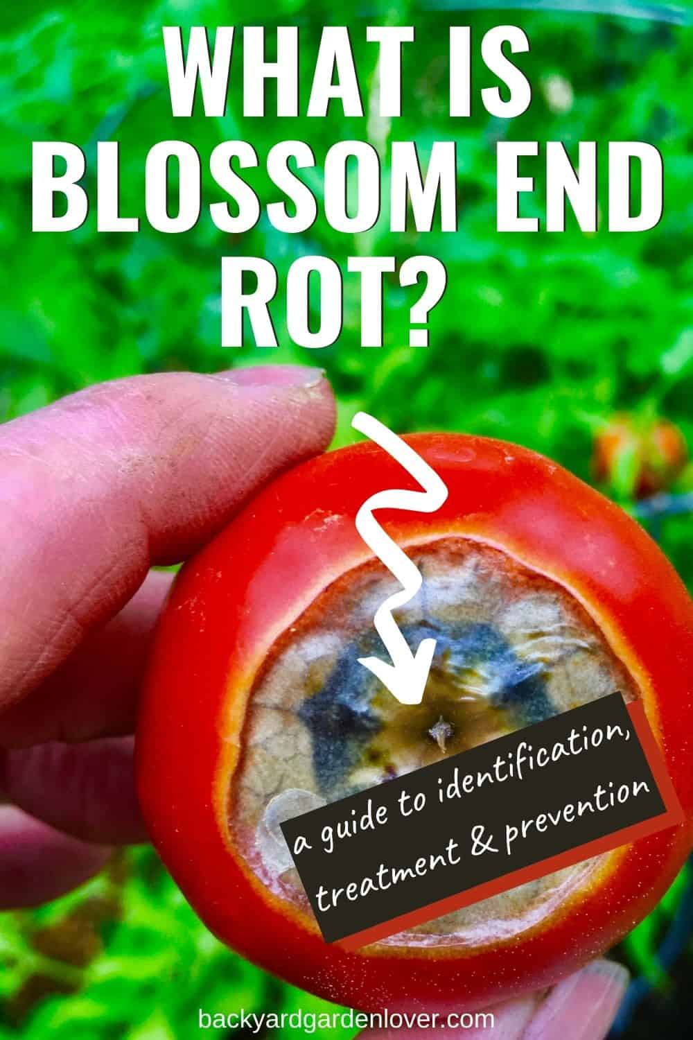 What is blossom end rot - Pinterest image