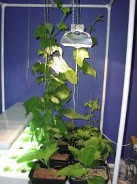 Bean vine in hydroponic garden