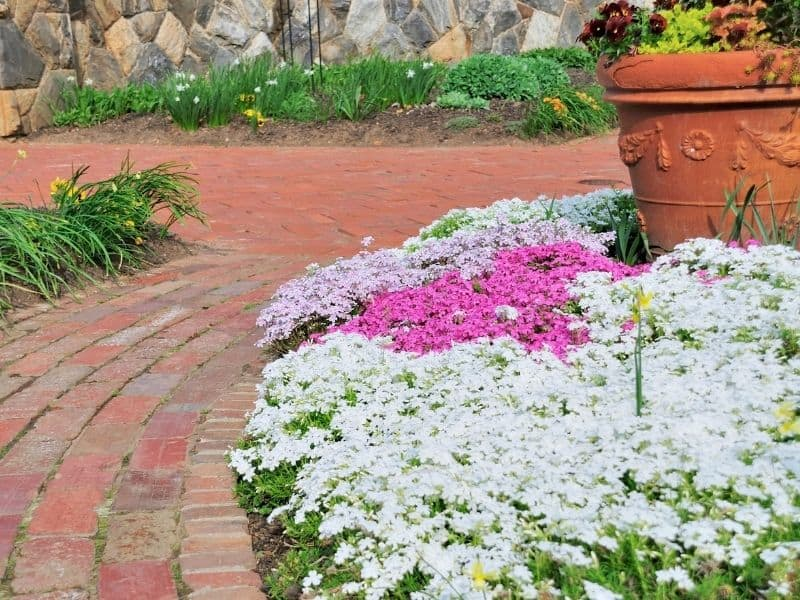Brick garden path by a patch of white and pink creeping phlox