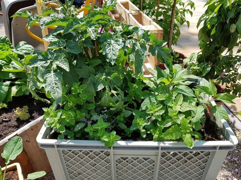 Tomato plants growing in a plastic crate