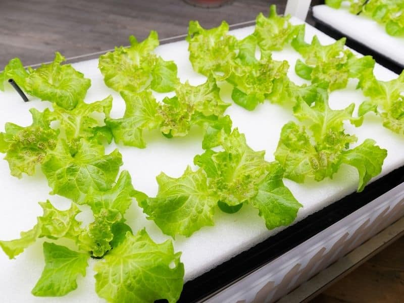 Lettuce growing in a deep water hydroponic system