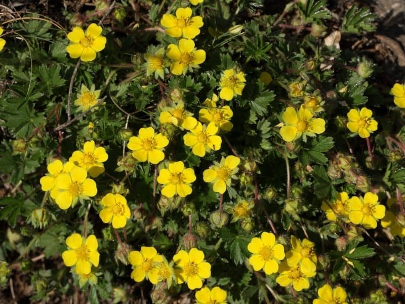 Yellow flowers of dwarf cinquefoil
