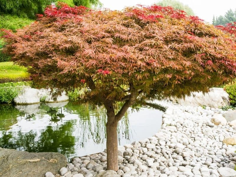 Japanese maple tree surrounded by white rocks and a small pond