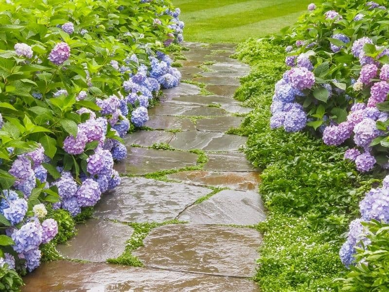 Stone path between hydrangea flowers
