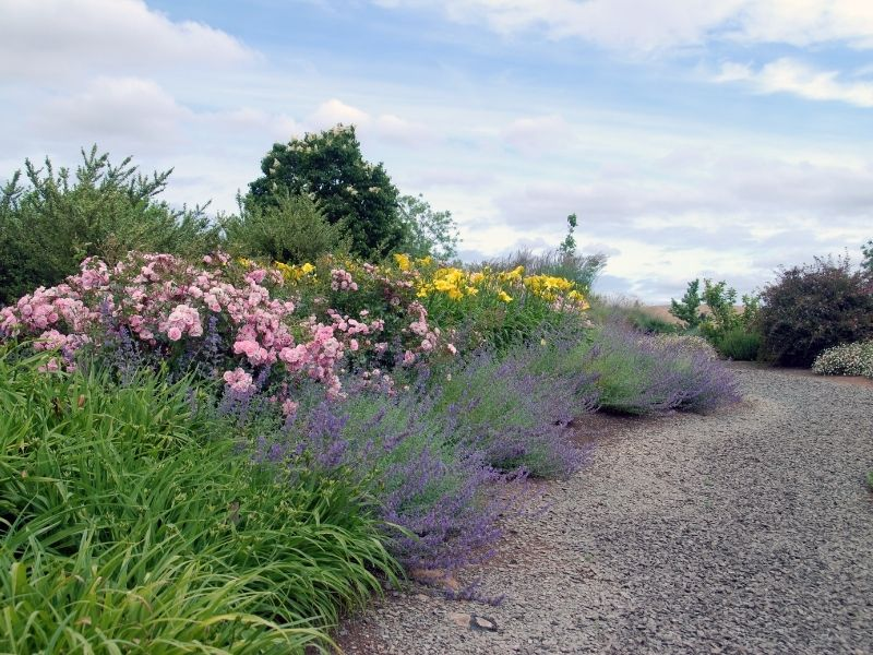 Gravel path by a nice group of lavender, daylilies, and roses