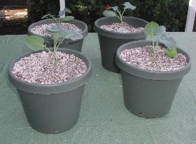 Planted broccoli