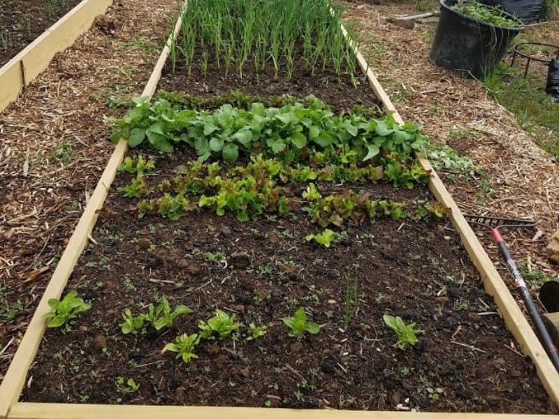 Raised bed in the spring with greens growing