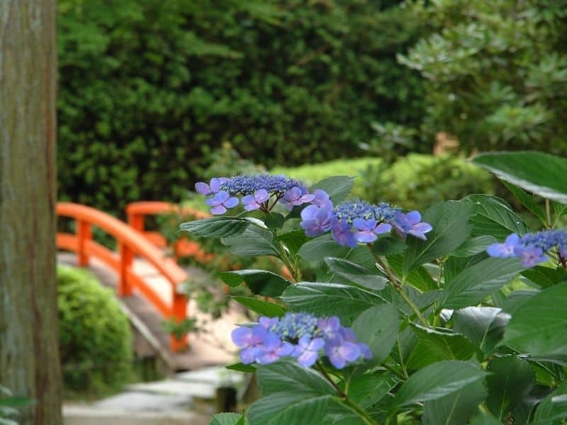Purple blooming hydrangea in a Japanese garden, with an orange bridge in the background