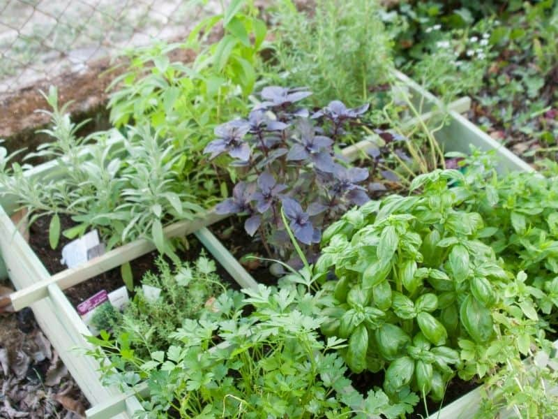Square foot garden bed filled with herbs