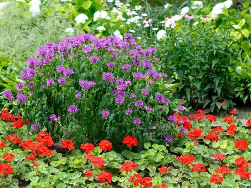 Vibrant colored landscaping with purple, red and white flowers