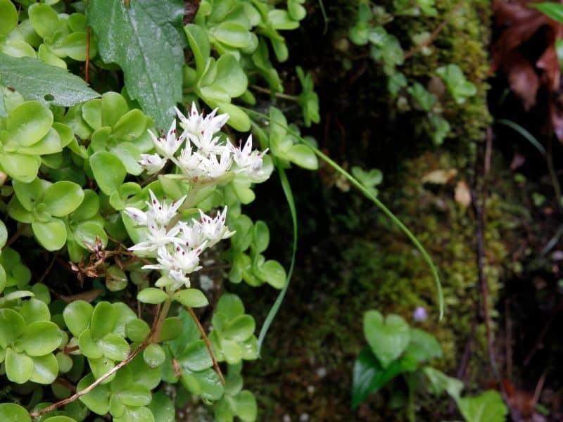 White wild stonecrop flowers