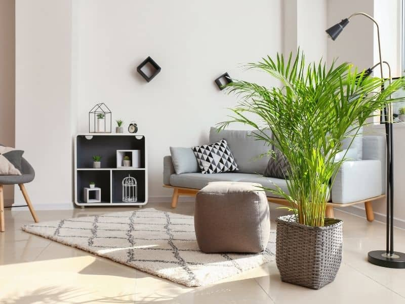 Areca palm in a livingroom