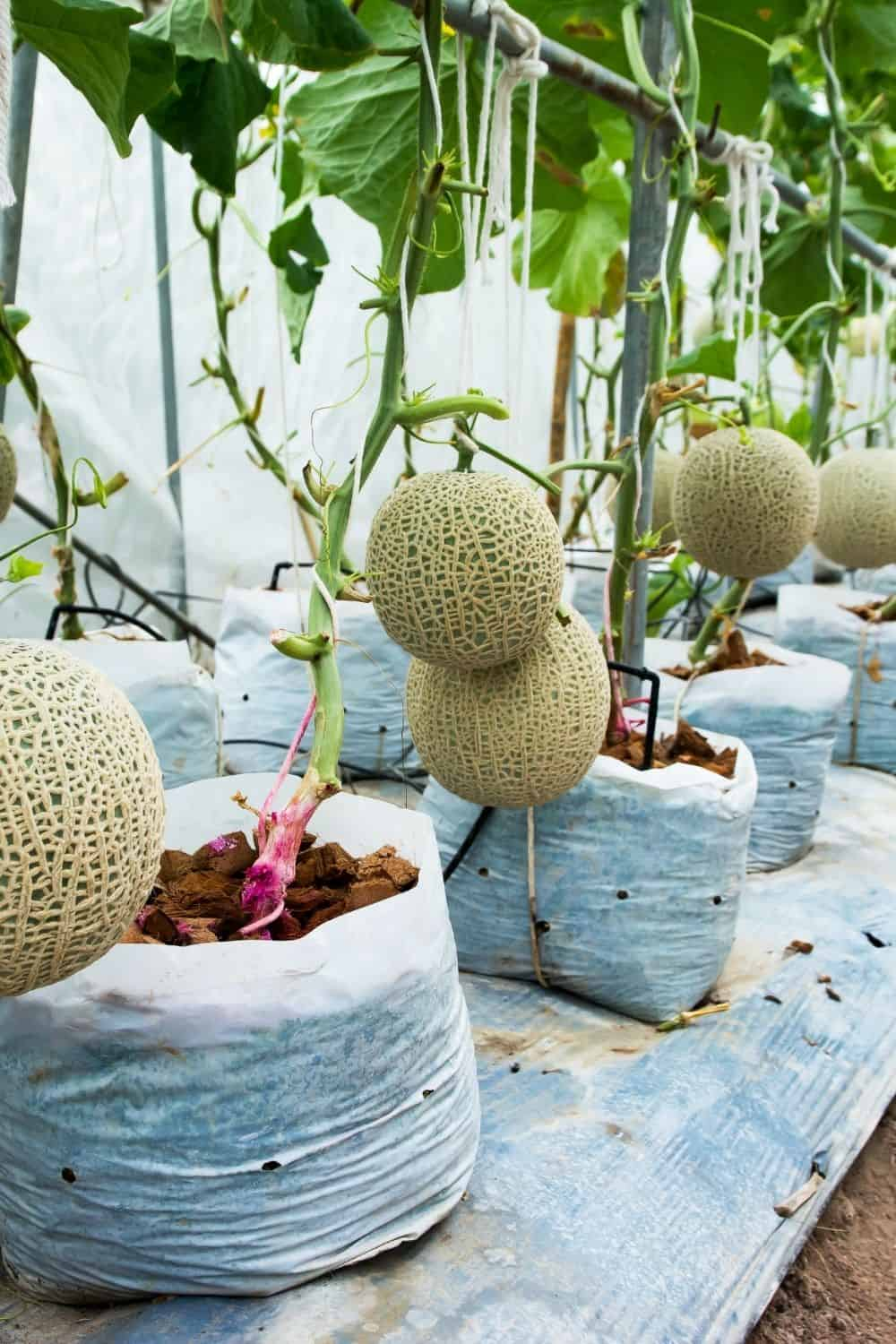Cantaloupes trained to grow vertically