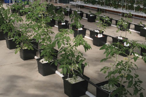 Commercial hydroponic tomato system