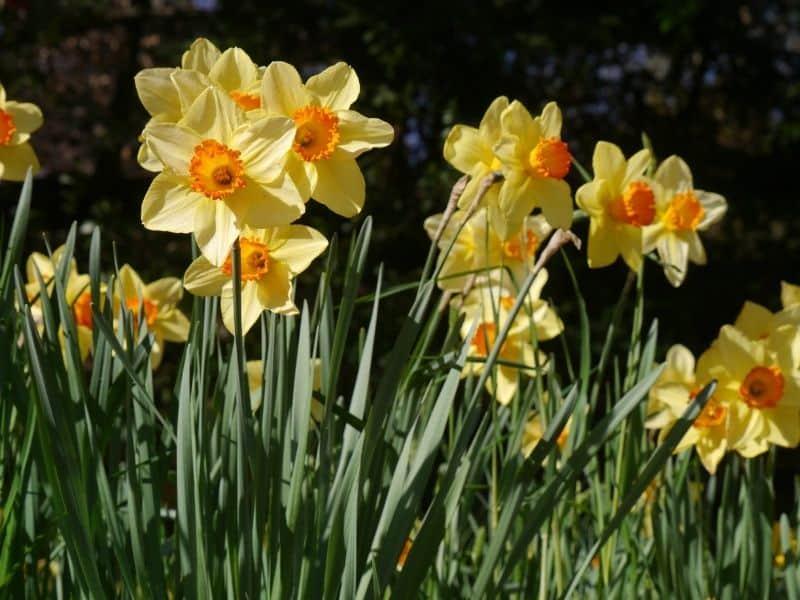 daffodil flowers