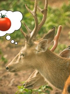 Deer dreaming of tomatoes