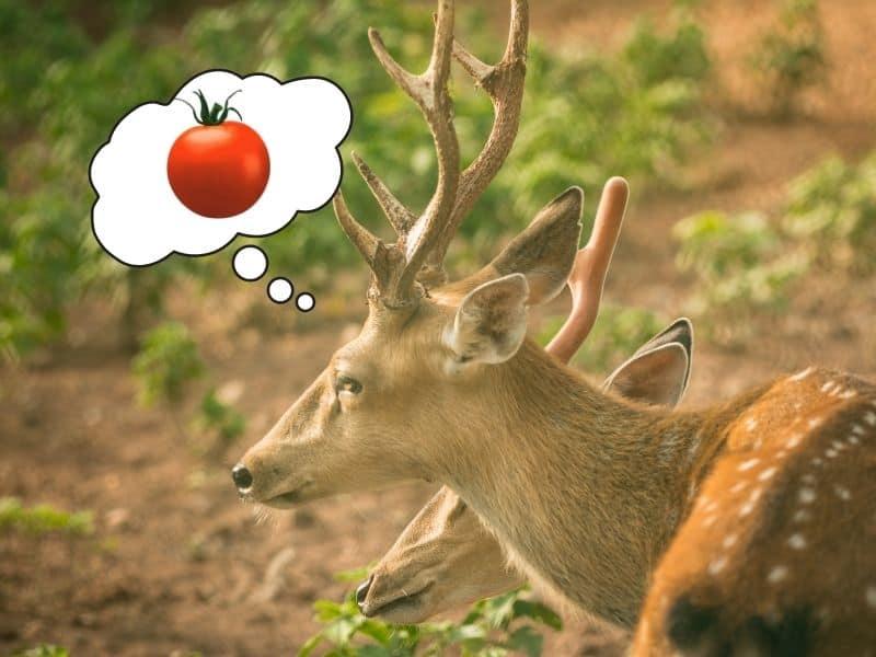 Deer dreaming of tomatoes