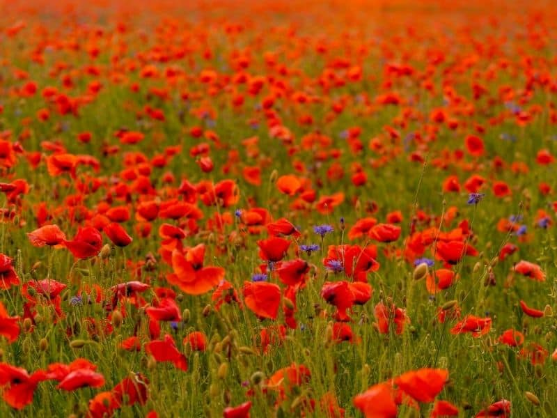 bright red field poppies