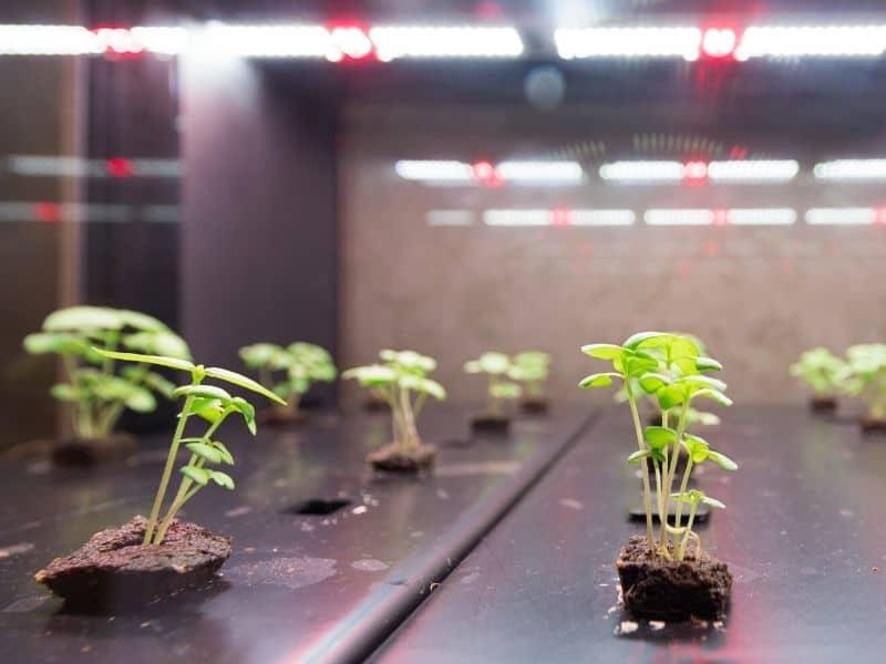 hydroponic seedlings