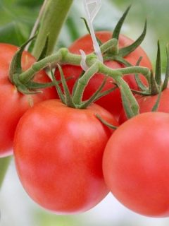 Tomatoes grown in a hydroponic garden