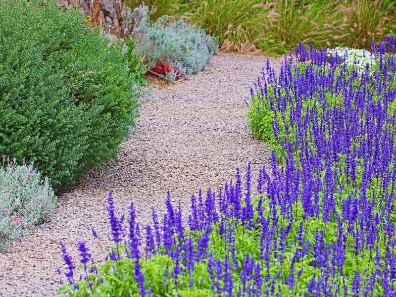 Pathway lined with lavender flowers
